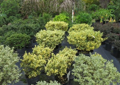 Jack frost ligustrum- slow growing 6'- full sun- evergreen