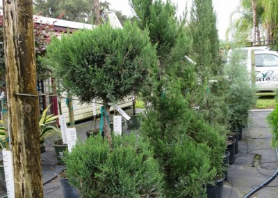 Juniper topiary- assorted shapes and sizes