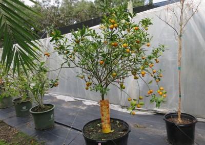 Kumquat- edible