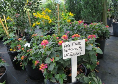 Lantana Ann Marie-root hardy-state flower-assorted colors and growing habbits