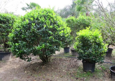 Ligustrum- great for privacy