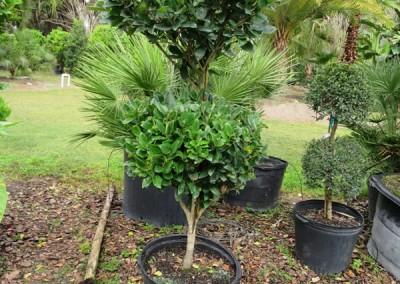 Ligustrum topiary (2)