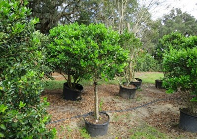 Ligustrum topiary- assorted shapes and sizes
