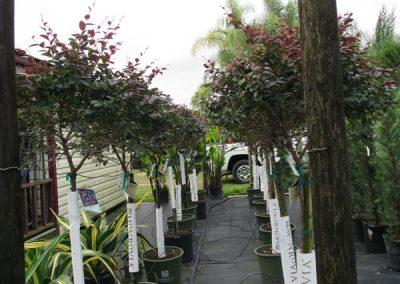 Lorapetalum topiary