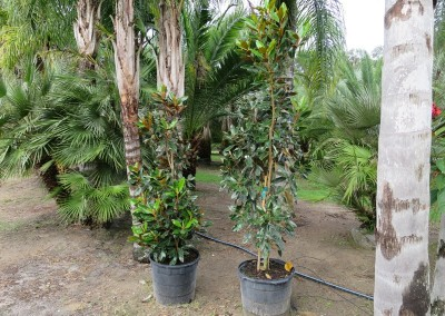 Magnolia- evergreen