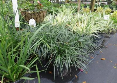 Mondo grass (2)