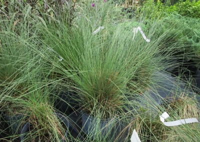 Muhly grass (2)