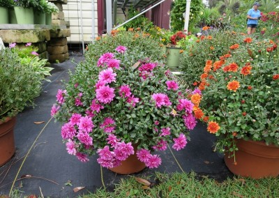 Mums-root hardy-assorted colors-spring and fall blooms