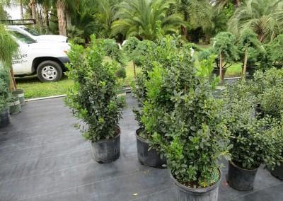 Oak leaf holly- evergreen