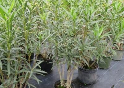 Oleander (2)