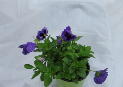 Pansy (2)