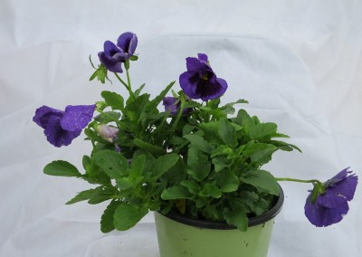 Pansy-assorted colors winter friendly