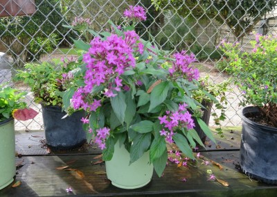 Penta-butterfly attractor-assorted colors-can be root hardy