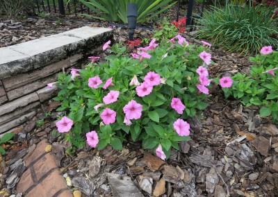 Petunia-assorted colors- winter friendly-sun part shade