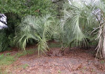 Pindo palm (2)