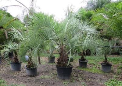Pindo palm (3)