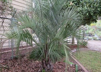 Pindo palm- slow growing-hardy sun or shade (1)