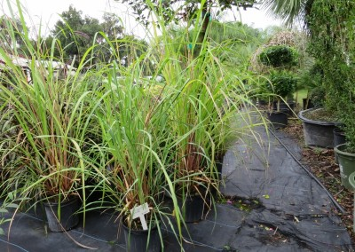 Pompas aka saw grass. large growing tall and wide.