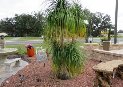 Pony tail palm- slow growing