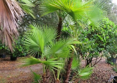 Porodis palm- multi trunk palm