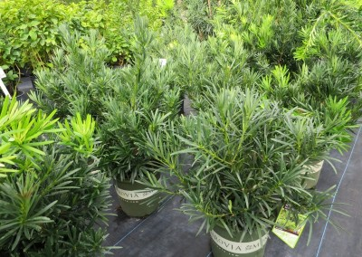 Pringlii podocarpus-dwarf 4-5' max height- sun or part shade- evergreen