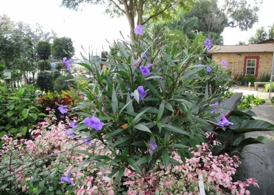 Purple showers- constant color- fast growing- sun or part shede