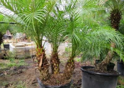 Robilinni palm- slow growing