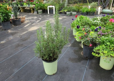 Rosemary- fragrant- 4' - full sun- hardy