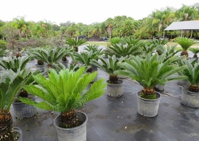 Sago palms (2)