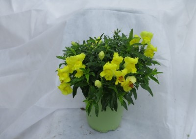 Snap Dragon-assorted colors-winter friendly-sun part shade