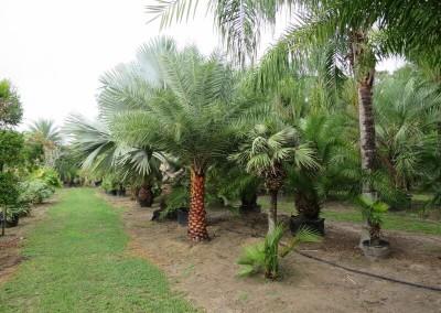 Sylvester palm (2)