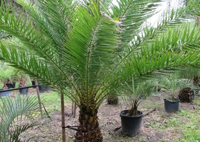 Sylvester palm (3)