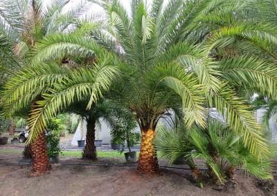 Sylvester palm (4)