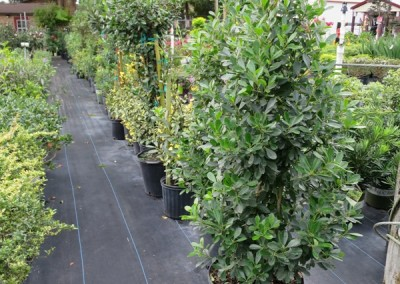 Tensaw holly- evergreen