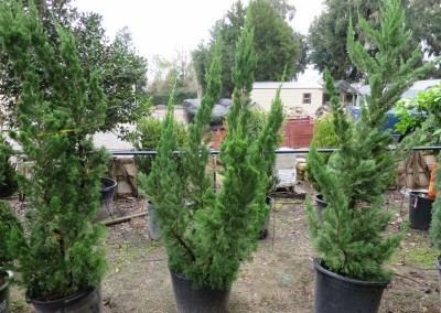 Torlosa juniper-evergreen