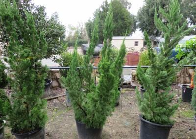 Torlosa juniper-evergreen