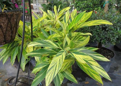 Variegated ginger (2)