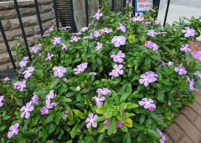 Vinca-assorted colors-spring summer fall - re seeds