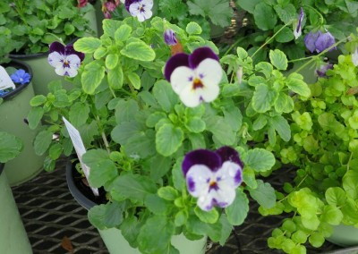 Viola-winter friendly assorted colors