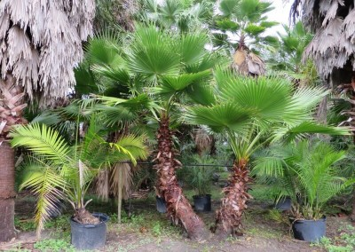 Washantonia palm- hardy- fast growing