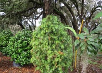 Weeping podocarpus