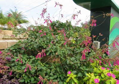 Wendys wish salvia-butterfly attractor can get 3-4'- spring summer fall color