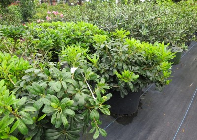 Wheeler pittosporum