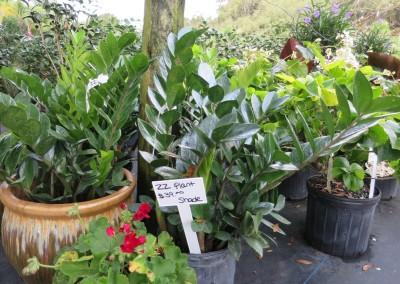 ZZ plant- shade lover