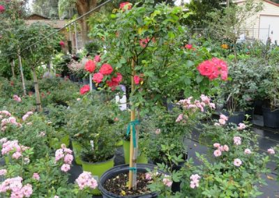 drift rose tree- topiery- continuous flower- assorted colors- full sun- hardy