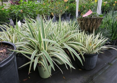 flax lilly- variegated ornamental grass